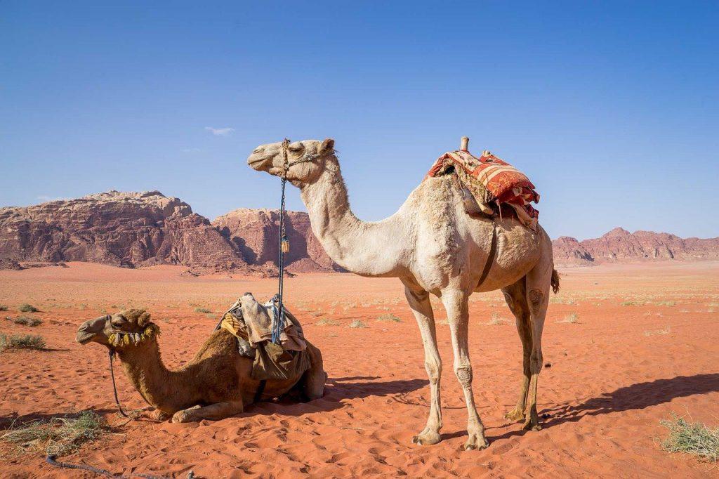 גמלים במזרח התיכון